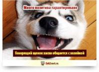 Говорящий щенок хаски общается с хозяйкой
